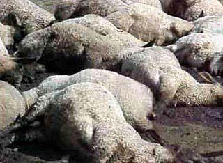 sheep_dead