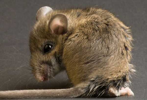 bigger-testes-field-mouse_17553_600x450