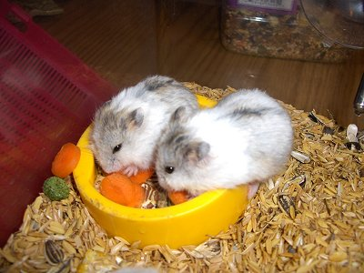 Russian Government Institute Infertility In Hamsters From Gm Soy Gmo Evidence