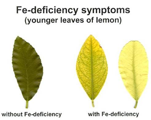 lemon FE