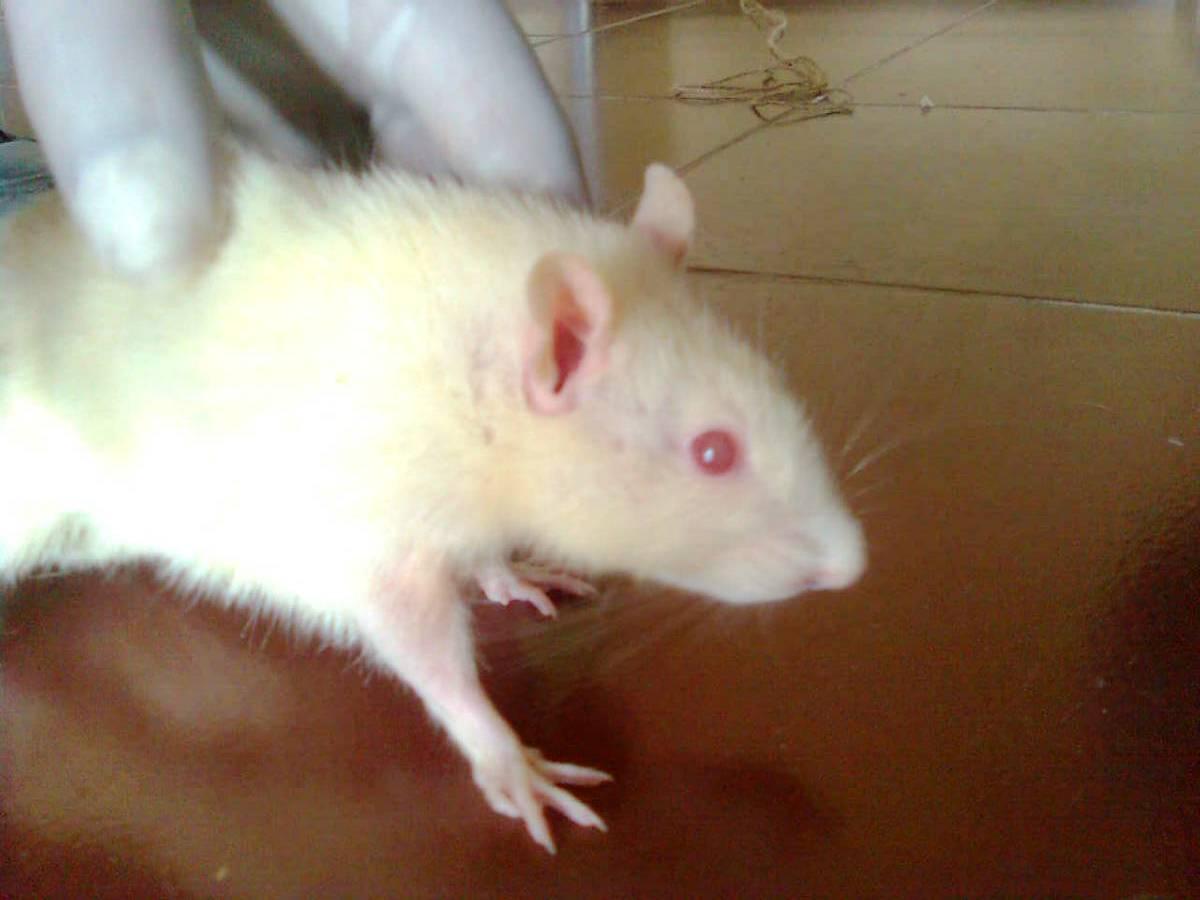 wistar rats