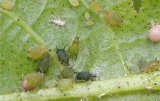 aphids cotton