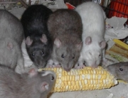 rats eating gm corn