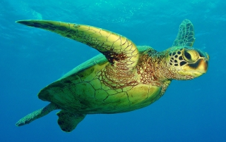 Glyphosate Lowers Survival of Gut Bacteria in Hawaiian Green Turtles