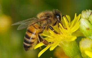 Dr Goñalons: Young Honey Bees Get Brain Damage from Neonics and Glyphosate